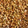 大量求购荞麦大小麦甜荞苦荞等原料