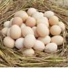 湖南农家土鸡蛋批发|湖南农家土鸡蛋批发商|新粤农场供