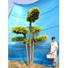 衡水德润景观 金叶榆造型树/园林绿化树种/庭院景观树/树造型