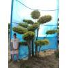 金叶榆造型树/园林绿化树种/大型风景树/树造型 衡水德润景观