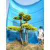 金叶榆造型树/园林绿化树/别墅景观树  衡水德润景观