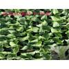 冰菜种子,冰草种子,冰菜种苗,冰草种苗