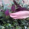 紫背天葵种苗,紫背菜种子