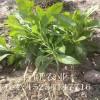 富贵菜种苗、降糖草种苗