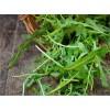 常年批发小叶芝麻菜种子