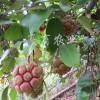 大血藤布福娜特色果苗种植供应