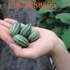 佩普基诺特色果拇指西瓜种子新品种植