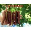 台湾四季长桑果树苗种植