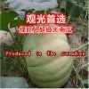 绿巨人超级大南瓜  绿巨人特大南瓜种子