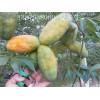 原生态果树苗供应 九月黄金蕉 种苗批发