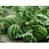 优质西瓜批发-东屯瓜菜种植专业合作社
