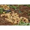 土豆今日价格荷兰土豆行情信息
