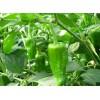 专业辣椒生产基地-东屯瓜菜种植专业合作社