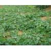 瓜蒌苗种植-江苏昊林农业